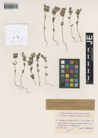 Isotype of Alectorolophus contrinensis Semler [family SCROPHULARIACEAE]