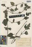 Isotype of Brillantaisia madagascariensis T. Anderson ex Lindau [family ACANTHACEAE]