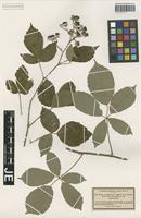 Isotype of Rubus laevifactus P. J. Müll. [family ROSACEAE]