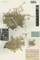 Holotype of Alyssopsis kotschyi Boiss. variety major Hausskn. ex Bornm. [family BRASSICACEAE]