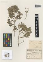 Isotype of Saponaria prostrata Willd. variety viscida Freyn & Sint. [family CARYOPHYLLACEAE]