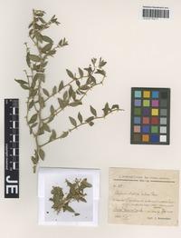 Capparidaceae - Rainforest Plants