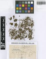 Isotype of Barbula ventanica Müll. Hal. [family POTTIACEAE]