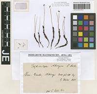 Isotype of Polytrichadelphus abriaquiae (Müll. Hal.) A. Jaeger [family POLYTRICHACEAE]