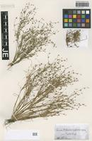 Holotype of Juncus haussknechtii Ruhmer [family JUNCACEAE]