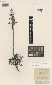 Isotype of Odontites creticus Boiss. [family SCROPHULARIACEAE]