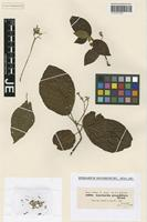 Isotype of Guettarda grandiflora Steud. [family RUBIACEAE]
