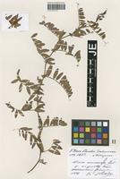 Isotype of Vicia amoena Fisch. ex Ser. _unranked angusta Freyn [family FABACEAE]