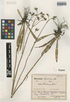 Isotype of Hieracium piloselloides Vill. subspecies themariense Schack & Zahn [family ASTERACEAE]