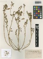 Holotype of Melilotus indicus (L.) All. forma confertus Hausskn. [family FABACEAE]