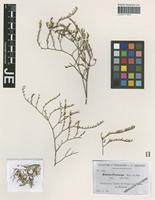 Isotype of Statice fraterna Sennen & Pau [family PLUMBAGINACEAE]