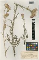 Syntype of Carduus zapateri Debeaux & E. Rev. [family ASTERACEAE]