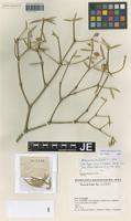 Paratype of Jacquinia curvata Lepper & J. E. Gut. [family THEOPHRASTACEAE]