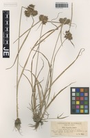 Type? of Cyperus glaber L. forma contractus Asch. & Graebn. [family CYPERACEAE]