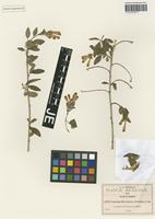 Isotype of Cestrum flavescens Greenm. [family SOLANACEAE]