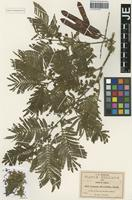 Isotype of Leucaena stenocarpa Urb. [family MIMOSACEAE]