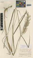Isotype of Calamagrostis villosa (Chaix) J. F. Gmel. variety rivalis Torges [family POACEAE]