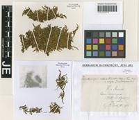 Holotype of Brymela callicostelloides (Herzog & Thér.) W. R. Buck [family PILOTRICHACEAE]