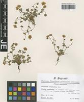 Syntype of Potentilla alpestris Haller f. variety tridentina Th. Wolf [family ROSACEAE]
