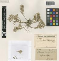 Holotype of Alyssum paphlagonicum (Hausskn.) T. R. Dudley [family BRASSICACEAE]