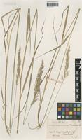 Syntype of Calamagrostis torgesiana Hausskn. [family POACEAE]