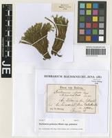 Lectotype of Bartramia inflata Herzog [family BARTRAMIACEAE]