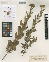 Isotype of Vernonia inulifolia Walp. [family ASTERACEAE]
