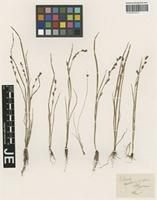 Syntype of Scleria melanotricha Hochst. ex A. Rich. [family CYPERACEAE]
