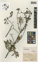 Isotype of Scrophularia tagetifolia Boiss. & Hausskn. [family SCROPHULARIACEAE]