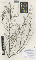 Isotype of Scrophularia turcomanica Bornm. & Sint. ex B. Fedtsch. [family SCROPHULARIACEAE]