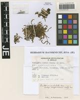 Paratype of Frullania carrii Kamim. & S. Hatt. [family FRULLANIACEAE]