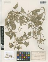 Isotype of Rothrockia cordifolia A. Gray [family ASCLEPIADACEAE]