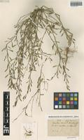 Isotype of Camelina anomala Boiss. & Hausskn. [family BRASSICACEAE]