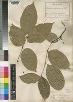 Gnetum africanum in Global Plants on JSTOR
