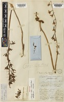Isotype of Eulophia venosa (F.Mueller) Benth. [family ORCHIDACEAE]