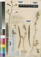Type of Epidendrum chloranthum Lindl. [family ORCHIDACEAE]