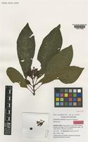 Isotype of Chassalia bonifacei Thulin & S.Mankt. [family RUBIACEAE]