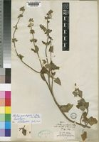 Type of Stachys grandifolia E.Mey. ex Benth. [family LABIATAE]