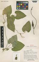 Isotype of Matelea sepicola W.D.Stevens [family ASCLEPIADACEAE]