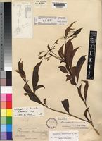 Holotype of Rauvolfia liberiensis Stapf [family APOCYNACEAE]