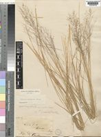 Syntype of Panicum pubiglume Stapf [family POACEAE]