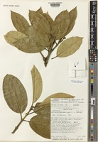 Isotype of Marlierea mesoamericana P.E.Sánchez [family MYRTACEAE]