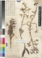 Type of Habenaria porrecta Bolus [family ORCHIDACEAE]