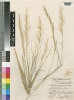 Isotype of Aristida amabilis Schweick. [family POACEAE]