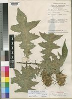 Holotype of Acanthus ueleensis De Wild. subsp. mahaliensis Napper [family ACANTHACEAE]