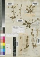 Holotype of Manulea silenoides E.Mey. ex Benth. [family SCROPHULARIACEAE]