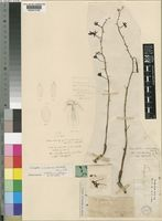 Type of Lissochilus microceras Rchb.f. [family ORCHIDACEAE]