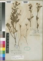 Isolectotype of Jamesbrittenia racemosa (Benth.) Hilliard [family SCROPHULARIACEAE]