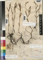 Syntype of Justicia crassiradix C.B.Clarke [family ACANTHACEAE]