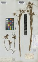 Type of Habenaria gourlieana Gillies ex Lindl. [family ORCHIDACEAE]